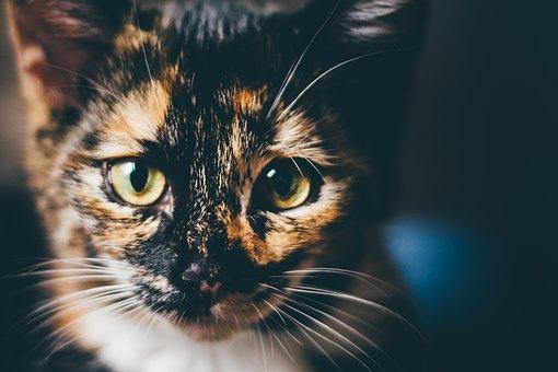 Cat, Domestic Cat, Face, Lucky Cat, Cat's Eyes, Animal