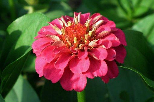 Flower, Zinnia, Nature, Closeup, Spring