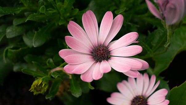 Flower, Pink, Nature, Garden, Daisy, Purple, Plant