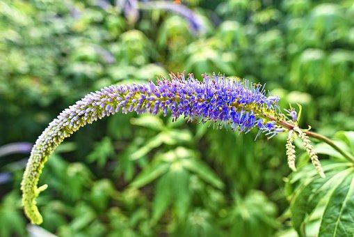 Garden Speedwell, Longleaf Speedwell, Flower, Plant