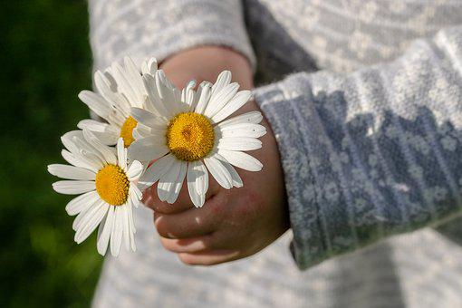 Daisies, Leucanthemum Maximum, Children's Hands, Give