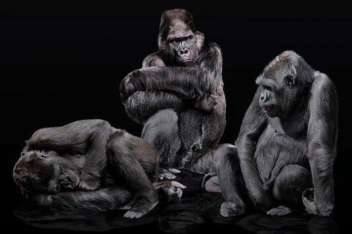 Animals, Ape, Primate, Gorilla, Gorilla Family