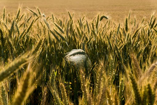 Grain, Field, Cereals, Agriculture, Ear, Arable, Plant