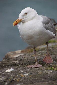 Gull, Bird, Sea, Water Bird, Animal, Waterfowl