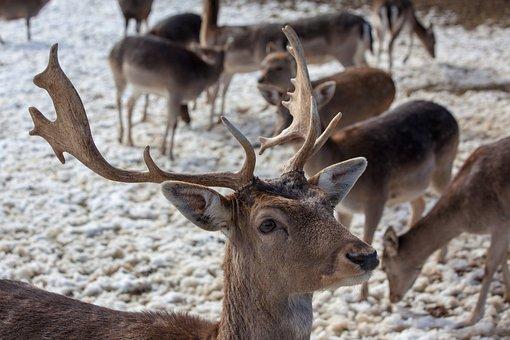 Deer Park, Hirsch, Antler, Roe Deer