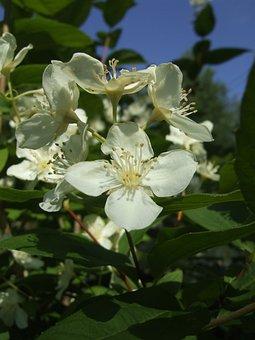 Bush, Jasmine, Summer, White Flowers