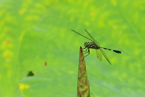 Insect, Dragonfly, Lotus, Leaf