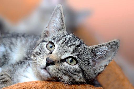 Cat, Domestic Cat, Mackerel, Face, Breed Cat, Cat Baby
