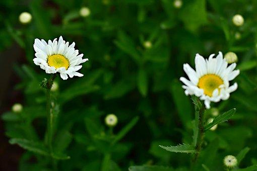 Perennial, Flower, Summer Flower, Marguerite, Macro