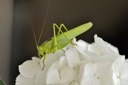 Grasshopper, Insecta, Green, Macro, Nature, Animal