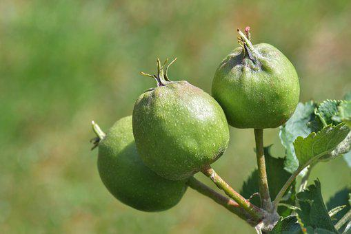 Apple, Leaf, Fruit, Green Apple, Plant, Macro, Sun
