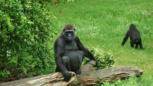 Zoo, Animal, Ape, Gorilla, Mammal, Primate, View
