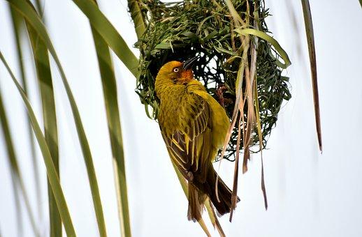Bird, Avian, Masked Weaver, Nest, Building, Colorful