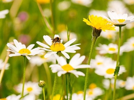 Meadow, Flowers, Daisies, Bloom, Summer