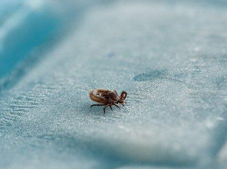 Tick, Wood Tick, Macro, Dangerous, Tbe, Meningitis