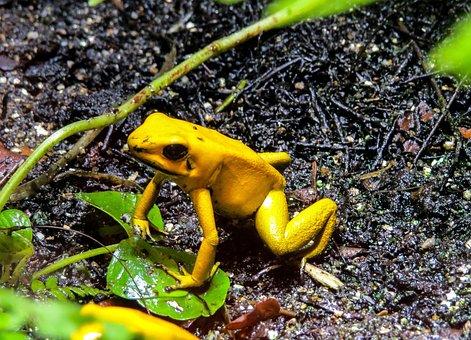 Nature, Animals, Frog, Amphibians, Poison Frog, Jungle