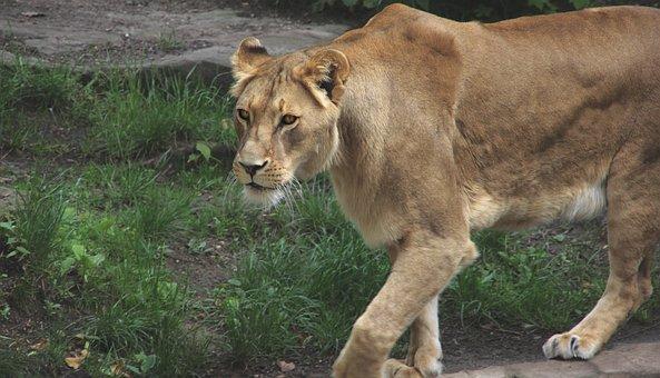 Lion, Zoo, Predator, Cat, Animal, Nature, Dangerous