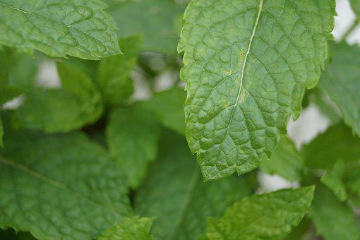 Peppermint, Green, Leaves, Aroma, Garden, Nature