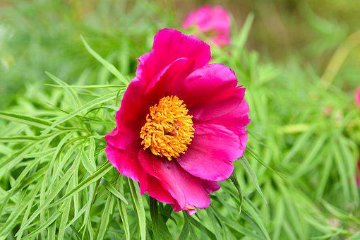 Flower, Blooms, Spring, Flora, Peony, Nature, Garden