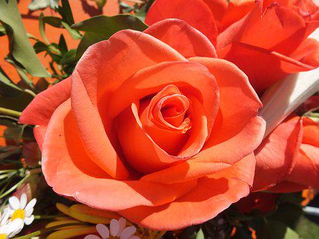 Rose, Orange, Red, Orange Red, Orange Blossom