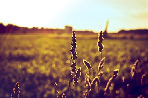 Crop, Sunset, Nature, Agriculture, Outdoor, Field, Sun