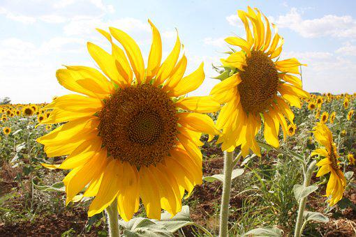 Sunflowers, Field, Outside, Flowers, Yellow, Nature