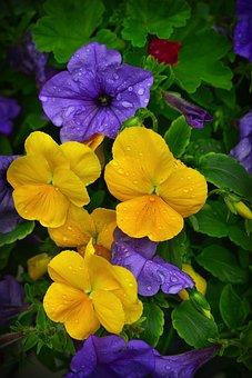 Thoughts, Petunias, Flowers, Petunia Purple, Flowering