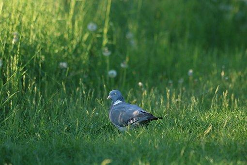 Pigeon, Bird, Grass, Summer, Nature