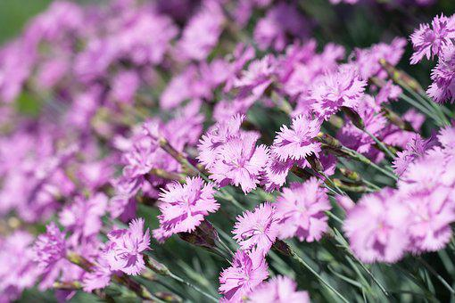 Cloves, Small Cloves, Pink, Carnation Pink, Flowers