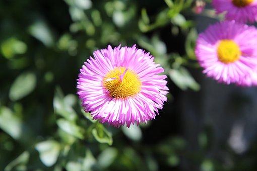 Pink Flowers, Flowering, Spring-flowering, Perennial