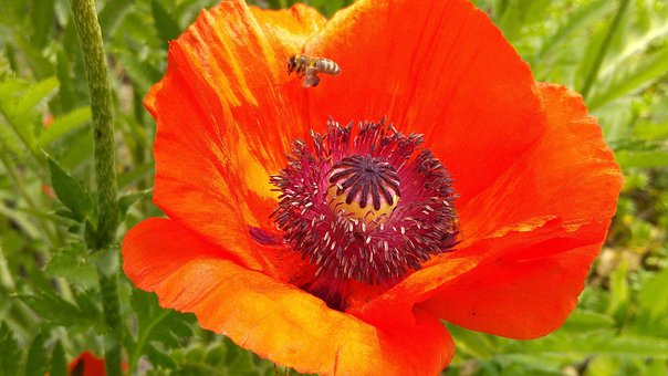 Poppy Flower, Bee, Mohngewaechs, Insect