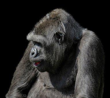 Animals, Monkey, Gorilla, Mammal, Primate, Ape