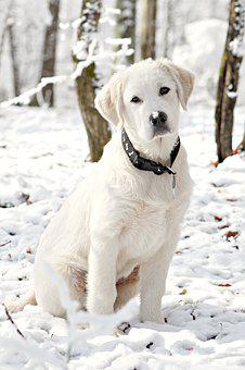 Dog, Puppy, Snow, Great Pyrenees, Trees, White, Animal
