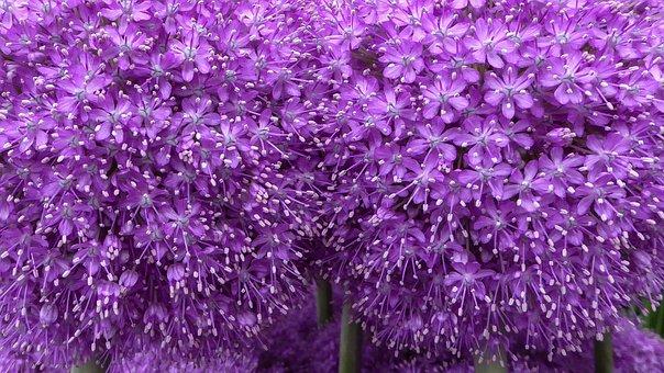Purple, Flower, Purple Flower, Allium, Macro, Blossom