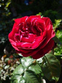 Rose, Summer, Red, Flower, Blossom, Garden, Nature