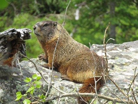 Wildlife, Rodent, Marmots, Hiking, Wyoming