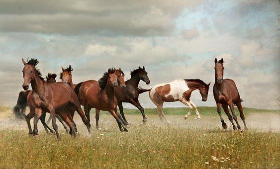 Horses, Herd, Mustangs, Nature, Wild, Run, Gallop