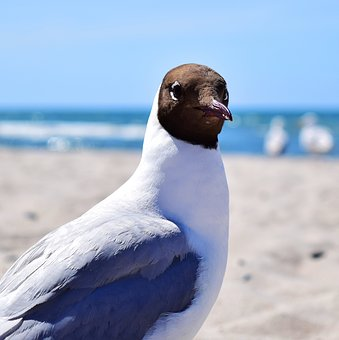 Seagull, Bird, Plumage, Marine Birds, Aquatic, Sea
