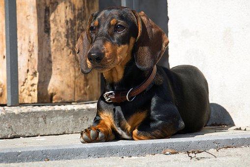 Dachshund, Dog, Pet, Young Animal, Dachshund Dog, Shiny