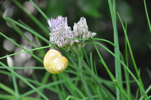Chives, Welsh Onion, Snail, Flower, Garden, Close Up