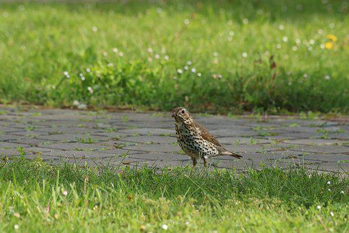 Song Thrush, Bird, Grass, Path, Summer