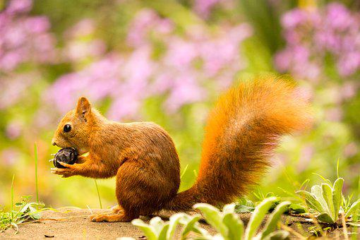Squirrel, Nut, Autumn, Rodent, Nibble