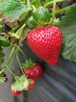 Strawberry, Strawberries, Fruits, Berry