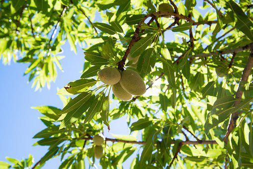 Almonds, Almond Tree, Nature, Tree, Sun, Summer, Fruit