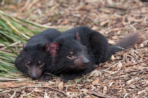 Tasmanian Devil, Tassie Devil, Devil, Marsupial