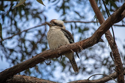 Kookaburra, Tree, Bird, Australia, Wildlife, Nature
