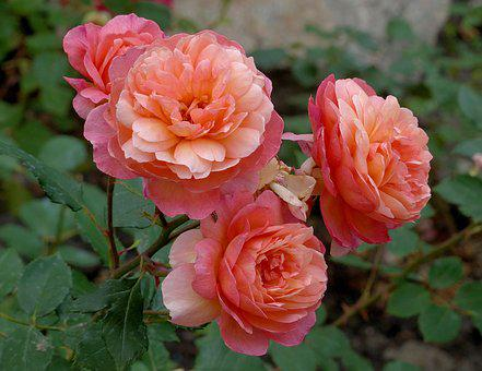 Roses, Flowers, Pink Roses, Variegated Rose