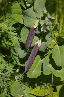 Blauwschokker, Peas, Plants, Garden, Vegetable, Healthy