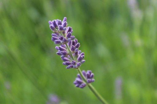 Lavender, Lavender Blossom, Violet, Purple