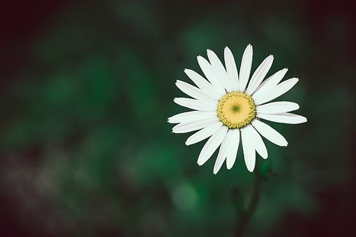 Marguerite, Flower, White, White Flower, Blossom, Bloom